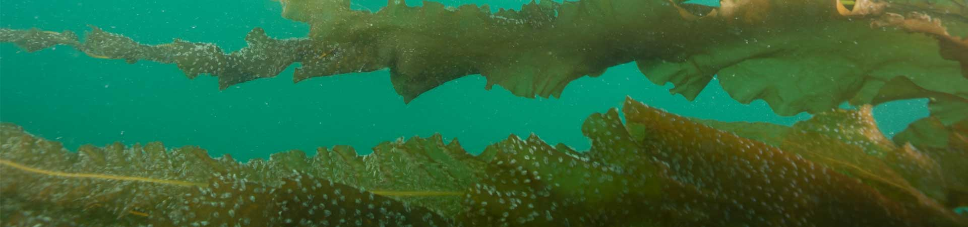 diver photo showing the seaweed farm below water surface
